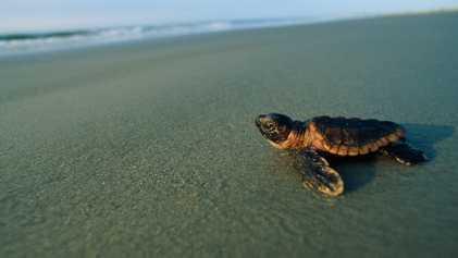 Como é que as Tartarugas Marinhas Encontram a Praia Onde Nasceram?