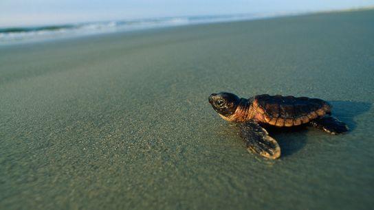 Tartaruga marinha bebé dirige-se para a zona de rebentação.
