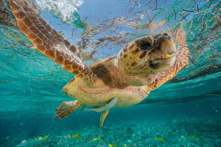 As tartarugas marinhas usam o campo magnético da Terra para navegar nas águas dos oceanos. Na ...