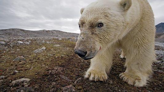 Fotografias Magníficas de Ursos Polares
