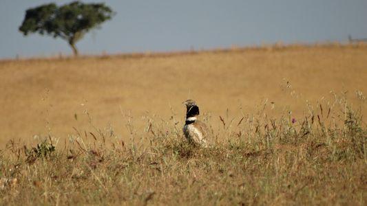 Perda de Habitat Crítico Para Aves Ameaçadas na Península Ibérica