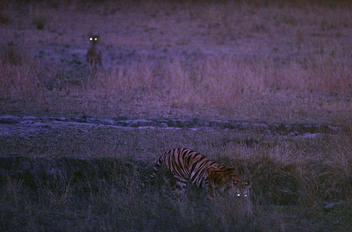 Bachhi, o tigre, e um veado