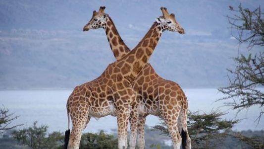 Um Duelo Entre Girafas