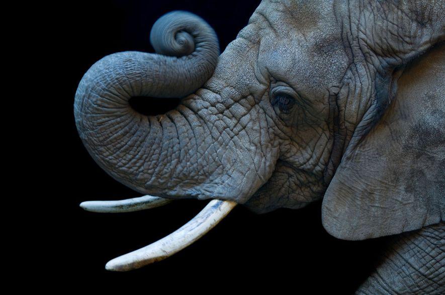 Uma fêmea de elefante-da-savana, vulnerável, (Loxodonta africana) no zoo de Cheyenne Mountain.