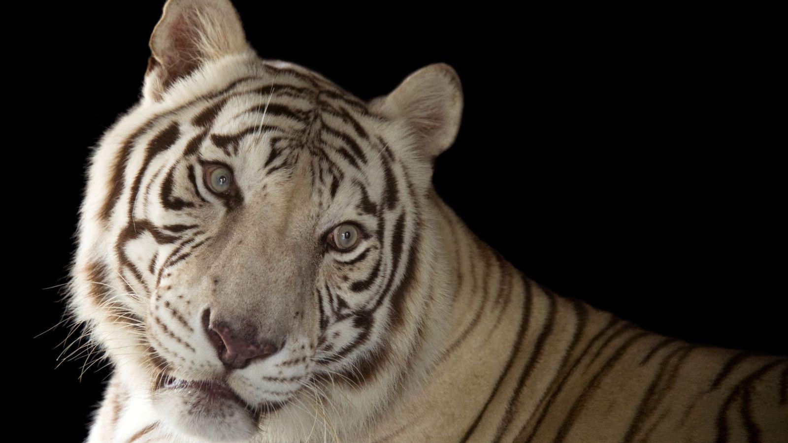 Rajah, um trigre de Bengal branco (Panthera tigris tigris)