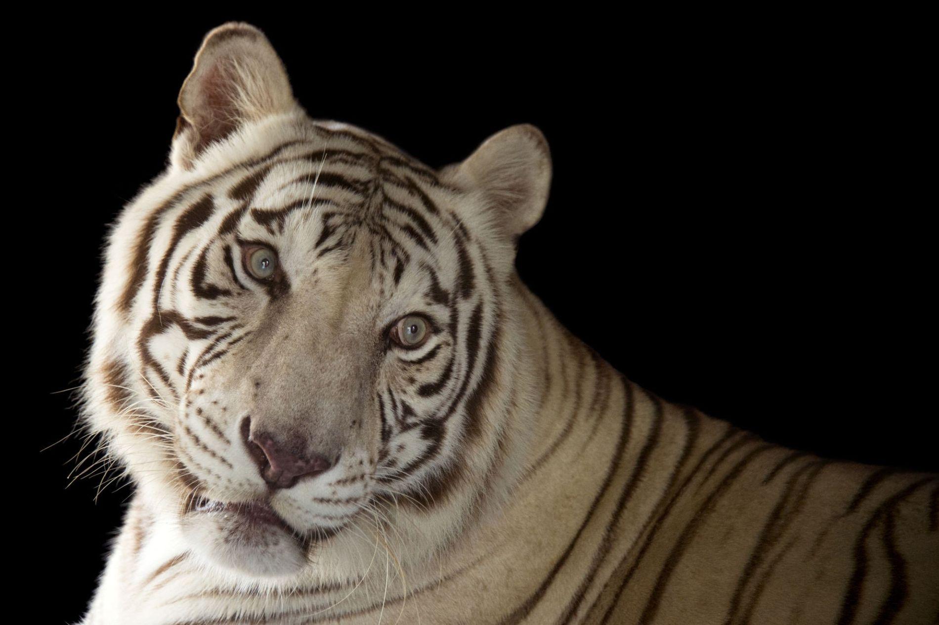 Rajah, um trigre de Bengal branco (Panthera tigris tigris) ameaçado, no Jardim Zoológico de Gulf Coast ...