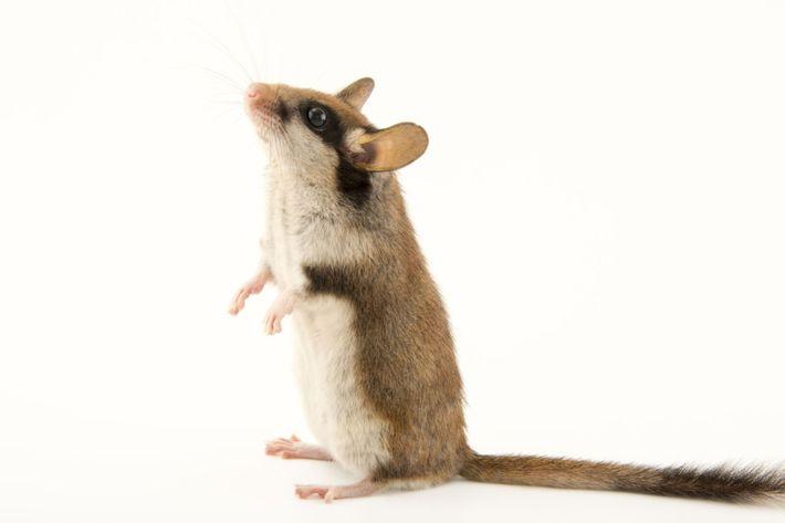 O Leirão, ou Rato-dos-Pomares, de nome científico Eliomys quercinus, é um roedor europeu com características bastante ...