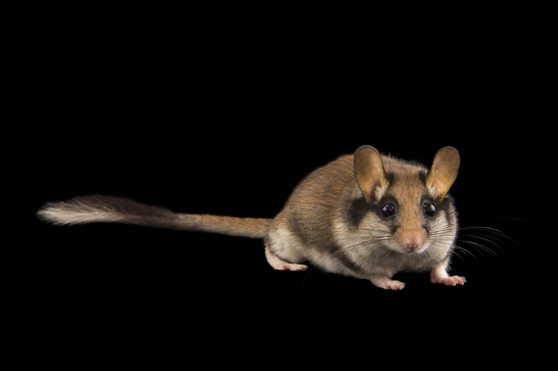 O Leirão, ou Rato-dos-Pomares, de nome científico Eliomys quercinus.