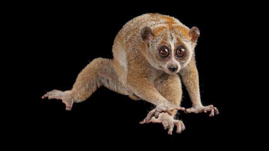 Loris-lento, Nycticebus pygmaeus
