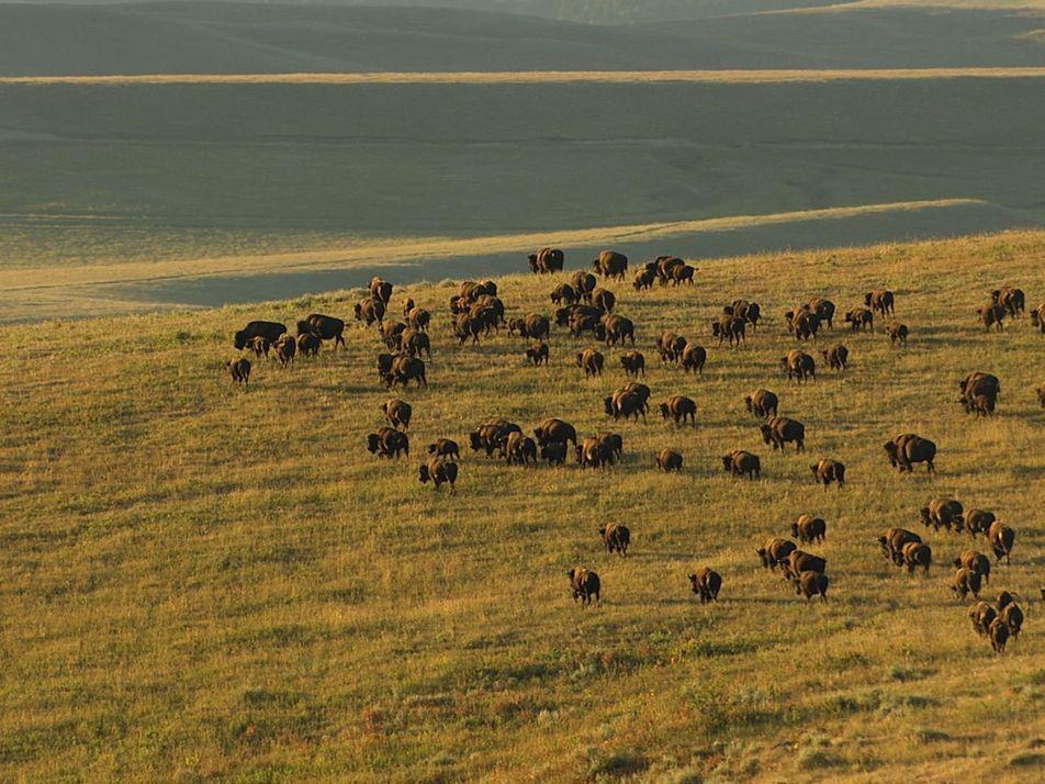 5 Animais Icónicos de Yellowstone