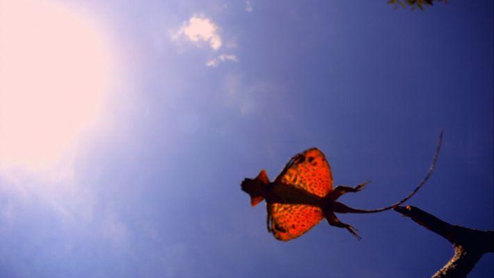Um dragão voador em carne e osso