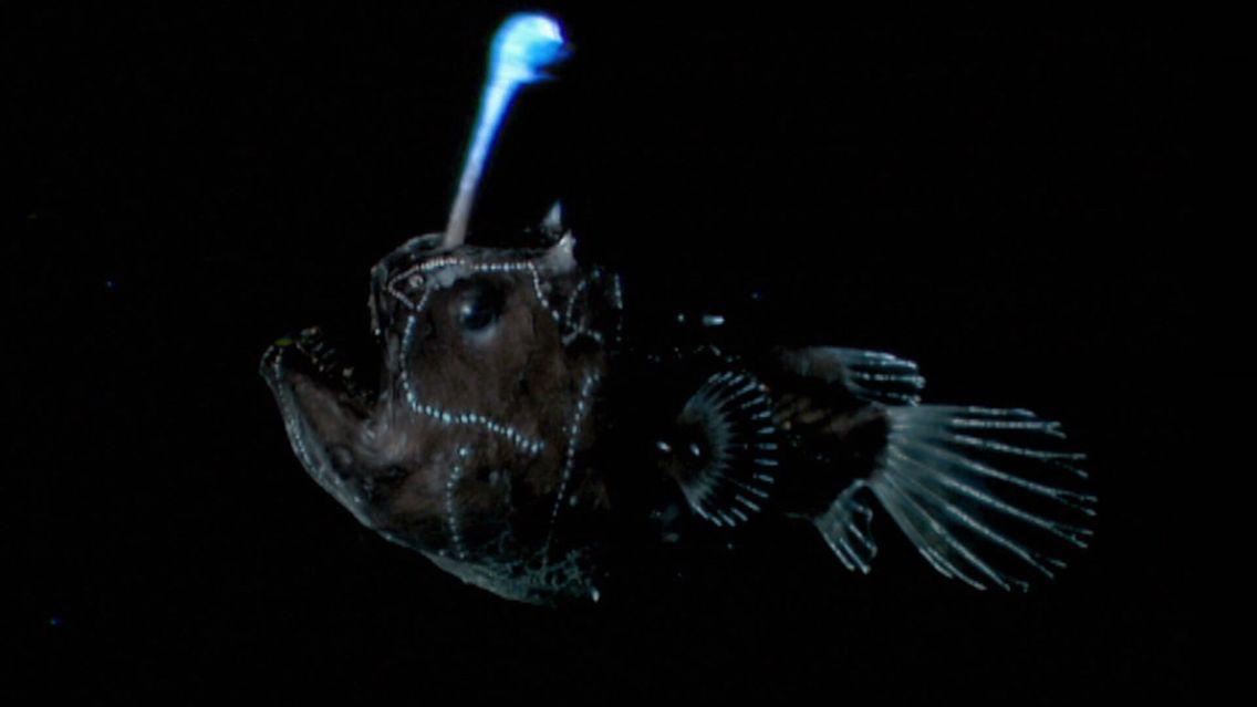 Depois de encontrar uma fêmea, o peixe-diabo agarra-a e nunca mais a solta!