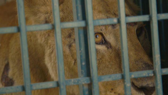 Veja como animais de um zoo na Síria escaparam a uma cidade devastada pela guerra