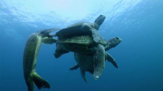 Amor Perigoso: Tartarugas Marinhas Verdes