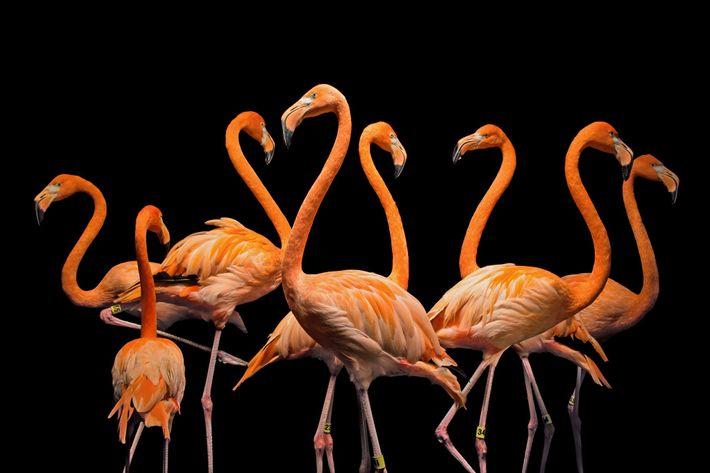 Flamingo-americano