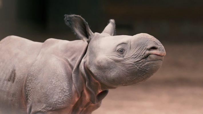Veja um Bebé Rinoceronte na Brincadeira
