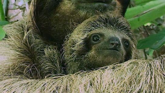 Preguiça bebé reunida com a mãe