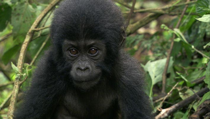 Depois da Morte da Mãe deste Bebé Gorila, Esta Mulher Criou-o