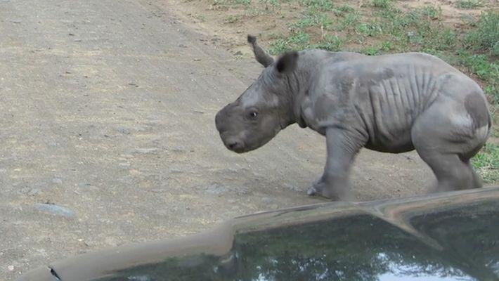 Uma Cria de Rinoceronte Tenta Lutar com um Carro Mas Muda de Ideias