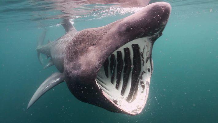 Os Saltos dos Tubarões-frade