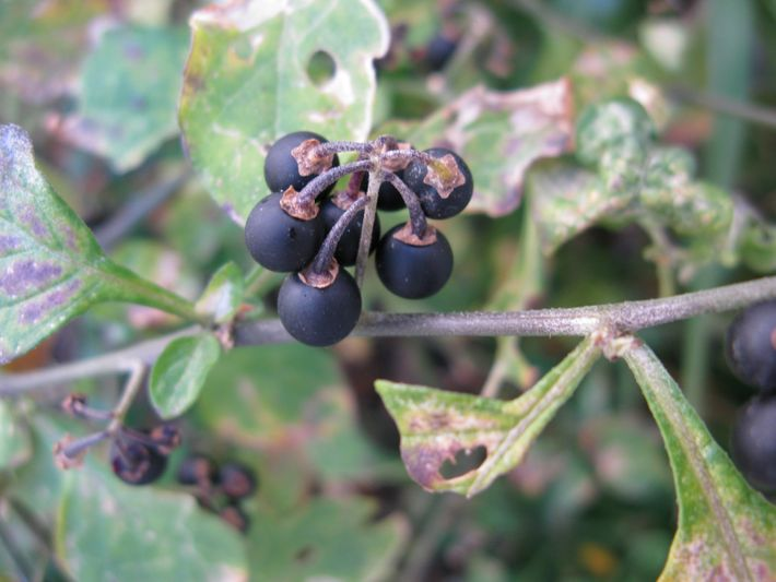 A erva-moura, ou erva-moira, de nome científico Solanum nigrum