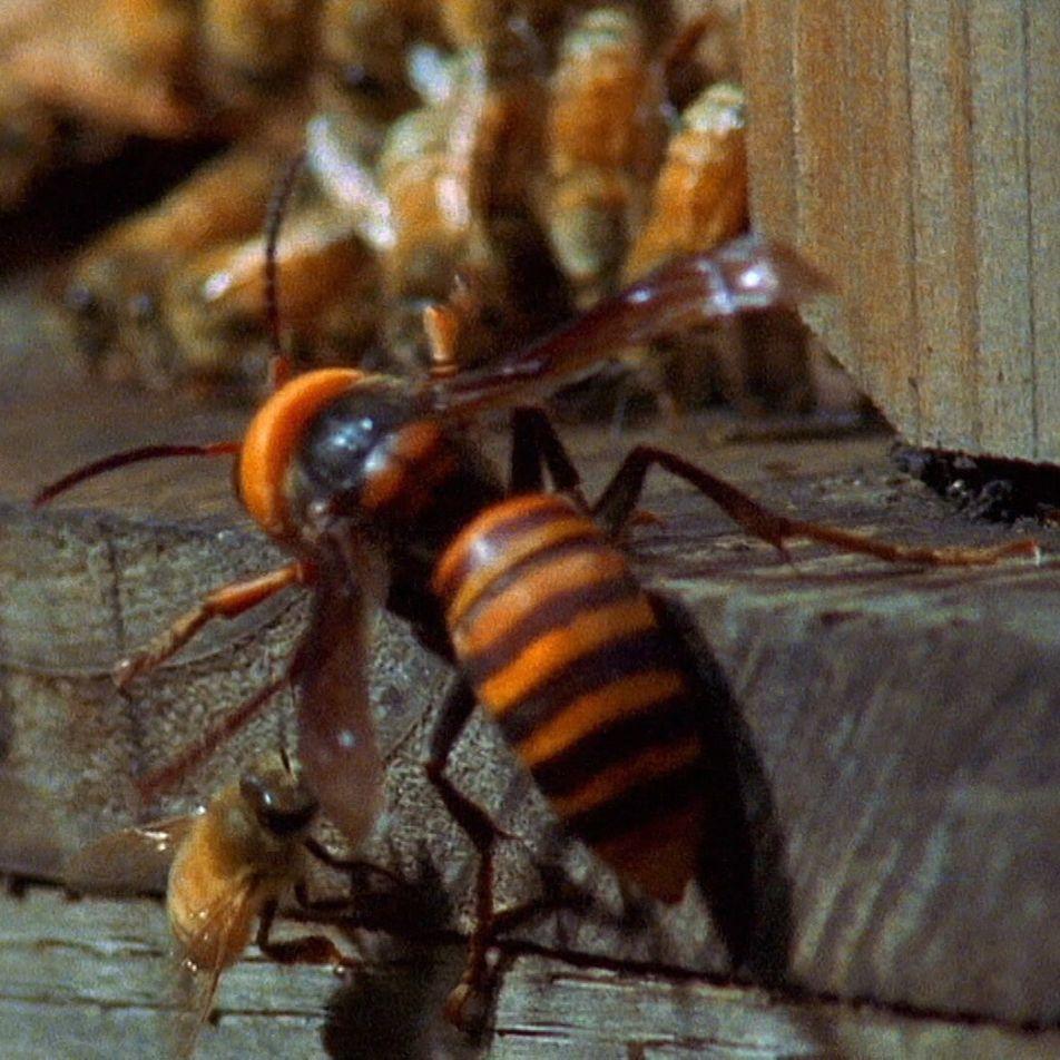 Vespas asiáticas gigantes atacam violentamente uma colmeia com abelhas desavisadas