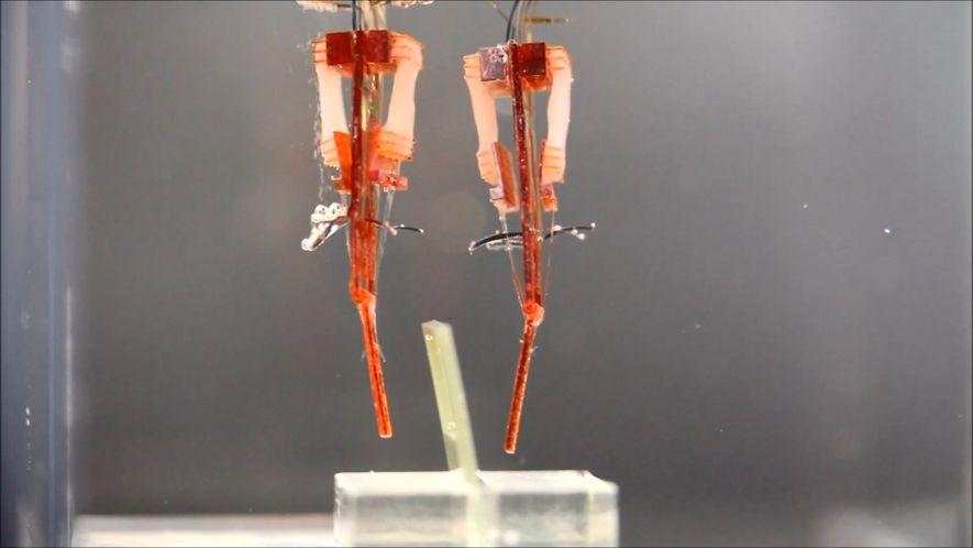 Estes Robôs Usam Tecido Muscular Vivo para Imitar os Dedos Humanos