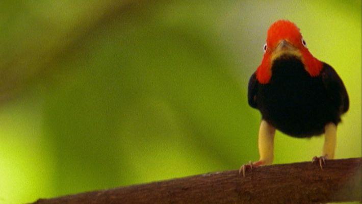"""Aves fazem """"Moonwalk""""para impressionar as fêmeas"""