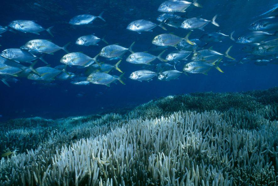 Aquecimento Branqueia Dois Terços da Grande Barreira de Coral