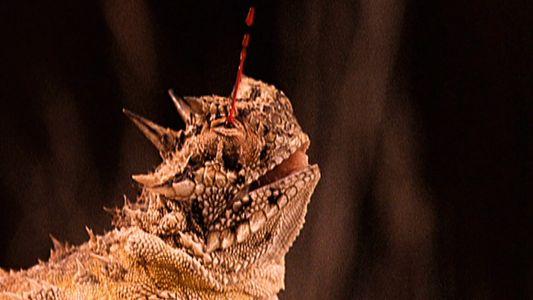 Observe a maneira bizarra e sangrenta como os lagartos-de-chifres expulsam predadores