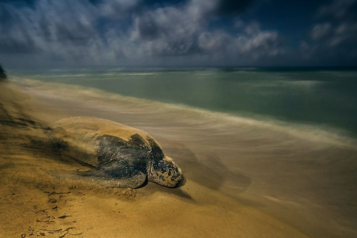 Uma tartaruga-de-couro abandona a praia