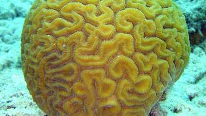 Os Corais Sobrevivem aos Oceanos Ácidos Adotando o Modo Corpo Mole