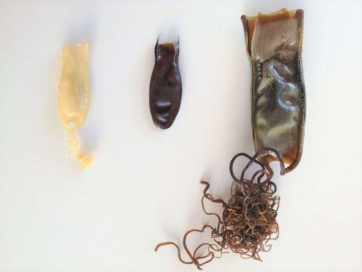 Da esquerda para a direita, um ovo de Pata-roxa (S. canicula), de Leitão (G. melastomus) e ...