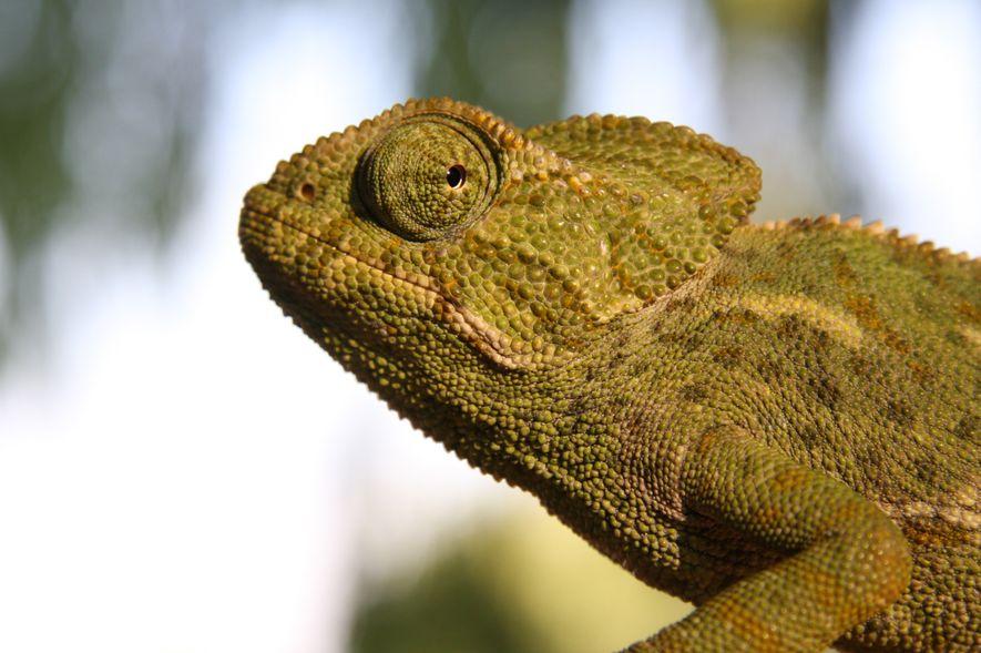 O Camaleão-comum, Chamaeleo chamaeleon, é uma das únicas espécies de camaleões que se estende à Europa.