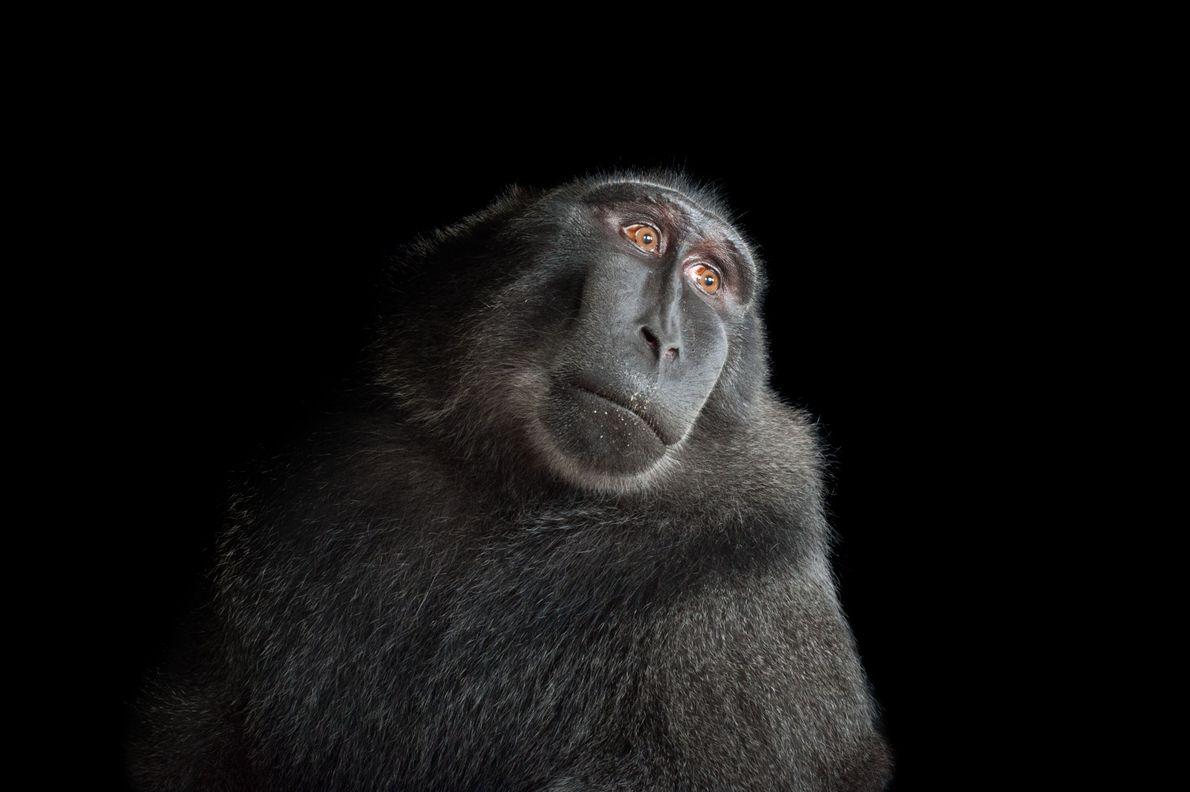 Macaca-nigra