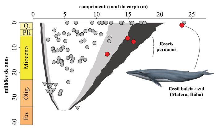 Um gráfico mostra cronologicamente as alterações no comprimento do corpo das baleias. Os círculos vermelhos mostram ...