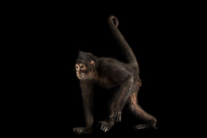 Macaco-aranha-da-colômbia