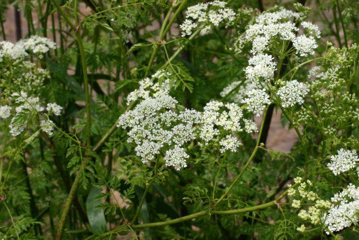 A Cicuta, de nome científico Conium maculatum, é uma planta que já tem em si um ...
