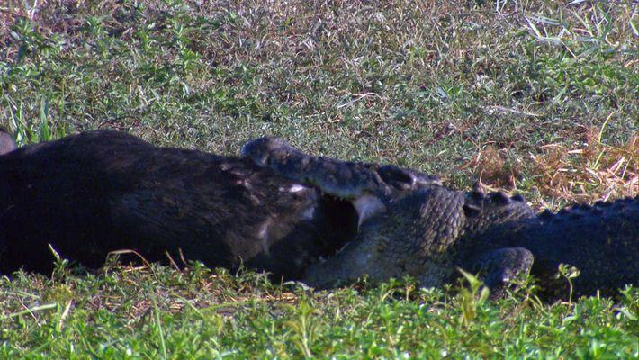 Crocodile eats pig