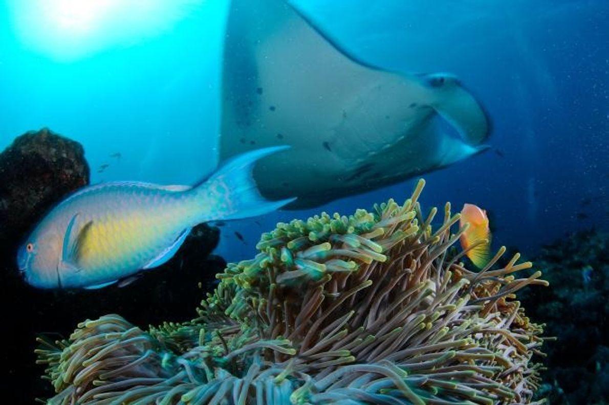 Um peixe-palhaço observa uma manta.