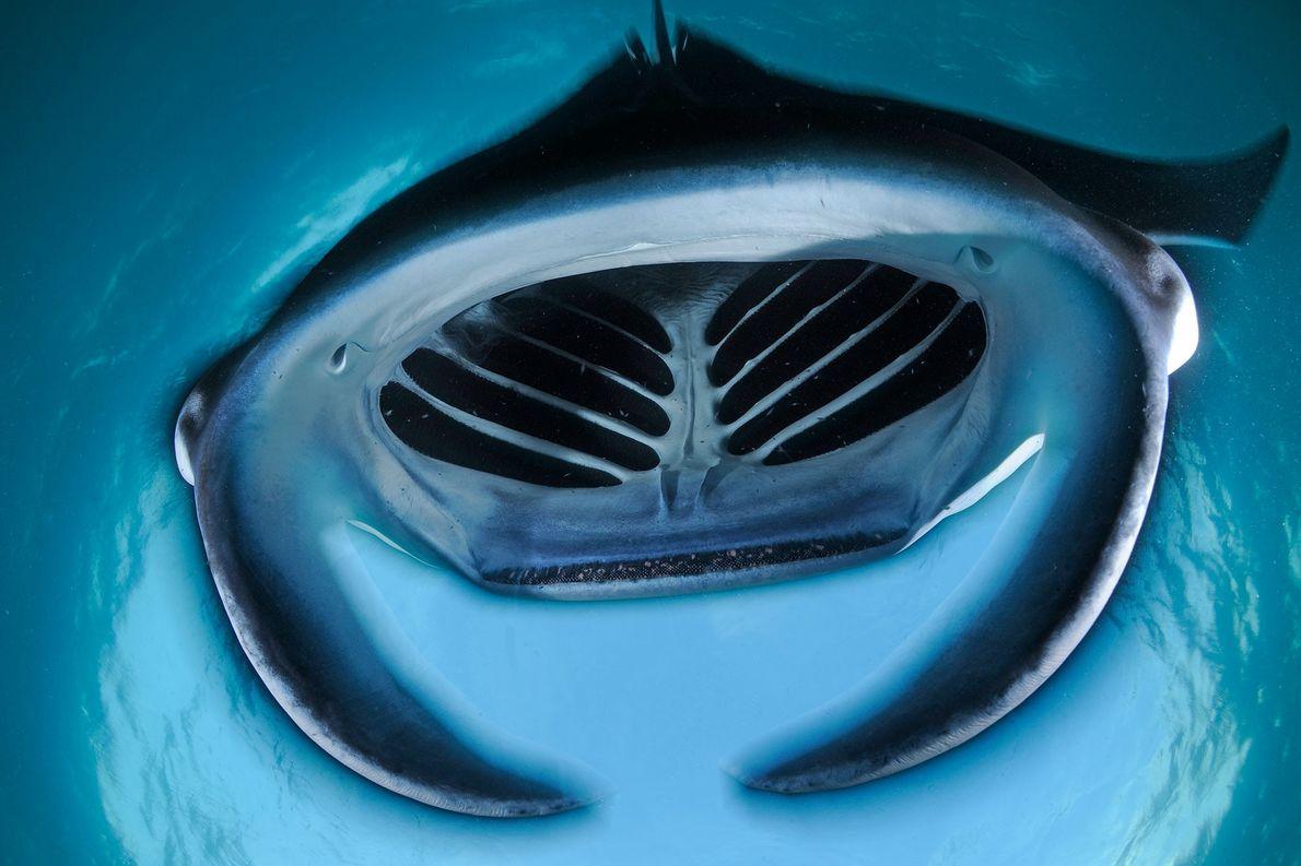 Uma raia manta abre a boca gigante.
