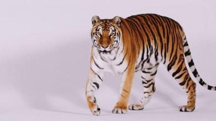 Dia Internacional do Tigre