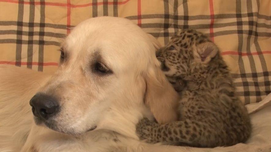 """Veja a Cadela que """"Adoptou"""" um Leopardo Bebé"""