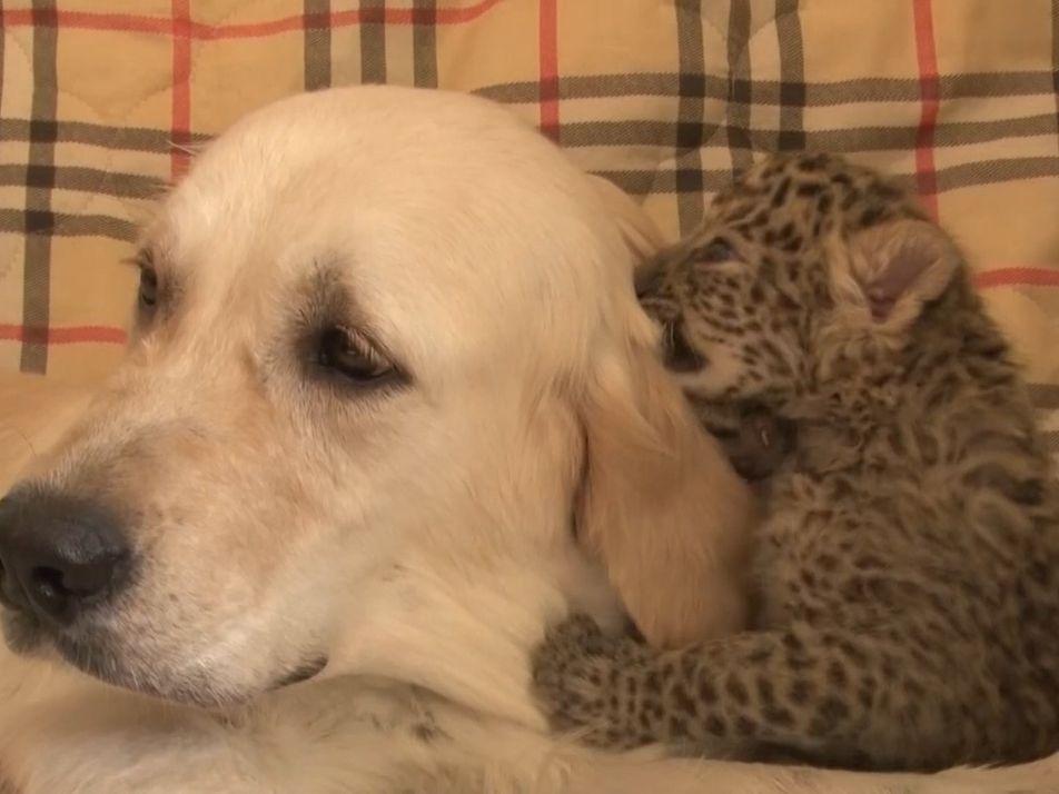 Como uma Cadela Protegeu uma Cria de Leopardo do Canibalismo