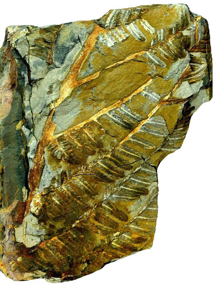 Espécime holótipo UP‐MHNFCP‐154066 consistindo de um fronde parcialmente preservado