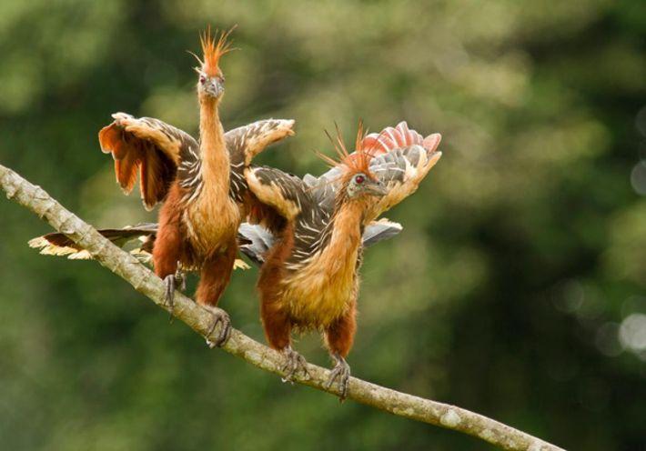 Duas ciganas empoleiradas num ramo no rio Napo