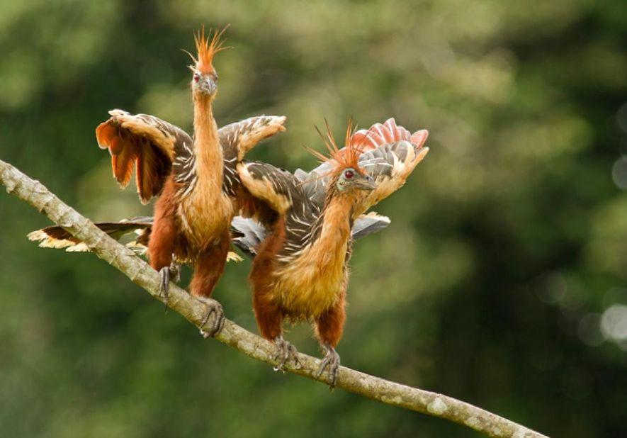 Duas ciganas empoleiradas num ramo no rio Napo, na Amazónia equatoriana.