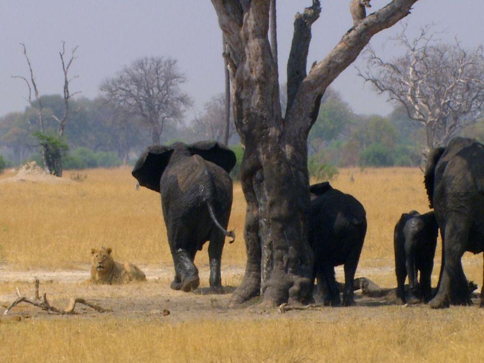Observe esta manada de elefantes a atacar furiosamente leões