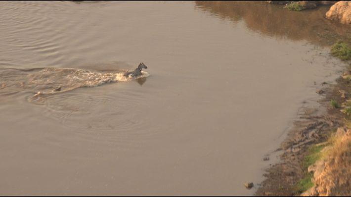 Uma Zebra Escapa de Crocodilos Por Pouco Para Dar de Caras com Leões