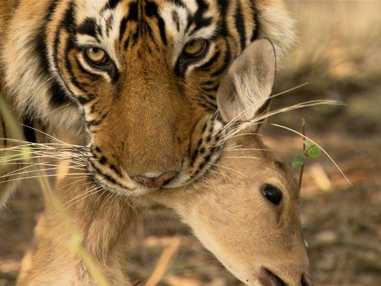 Uma Fêmea de Tigre Enfrenta Um Macho na Procura por Alimento